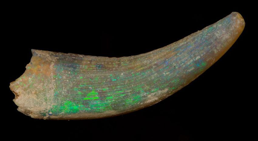 Псевдоморфоза благородного опала по зубу плезиозавра